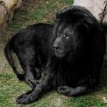 Il leone nero, il più bello e raro animale che esista al mondo