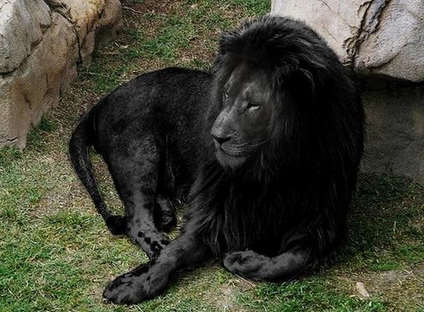leone-nero-raro